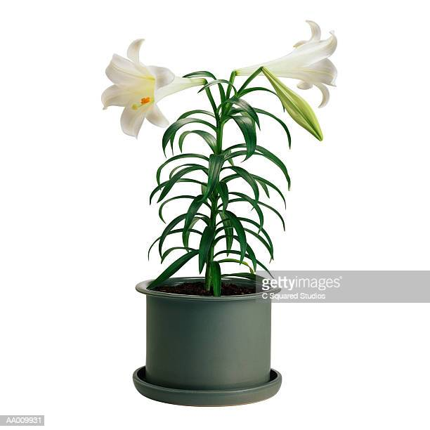 potted easter lily - easter lily stock pictures, royalty-free photos & images
