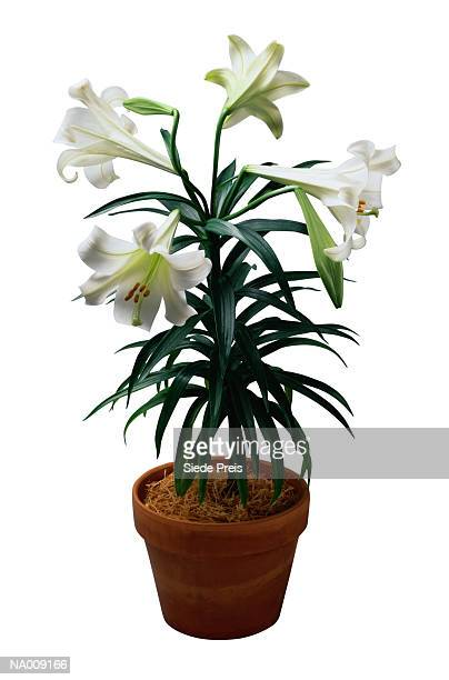 potted easter lily plant - easter lily stock pictures, royalty-free photos & images