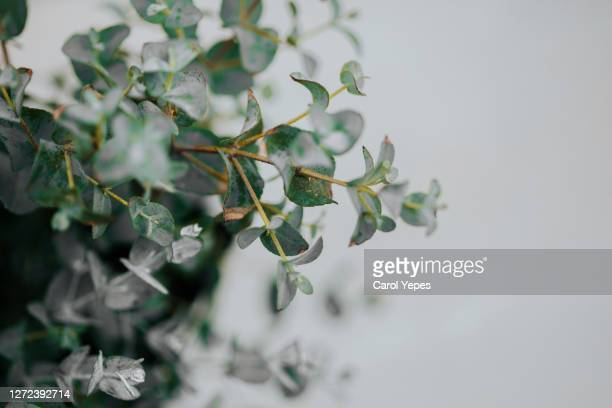 potted eucalyptus gunni at home with copyspace - silver coloured stock pictures, royalty-free photos & images