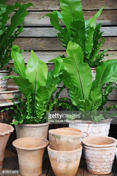 Potted ferns