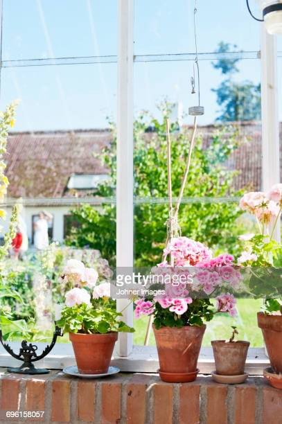 Potted geranium on windowsill in sunny day