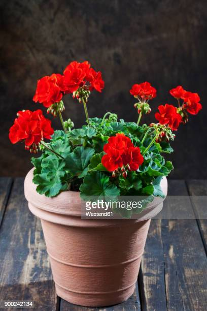 potted geranium - geranium stock pictures, royalty-free photos & images