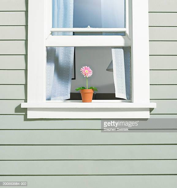 potted gerber daisy (gerbera jamesonii) on window sill of house - window sill stock pictures, royalty-free photos & images