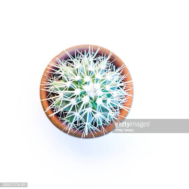 Potted Golden barrel cactus (Echinocactus grusonii), overhead view