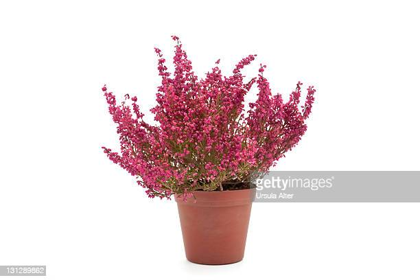 Potted heather flowers