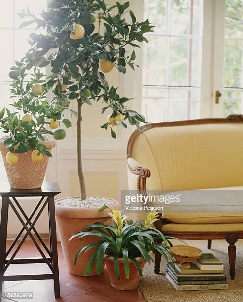 potted lemon tree next to a settee. - 果樹 ストックフォトと画像