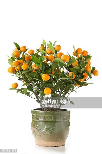 Potted orange