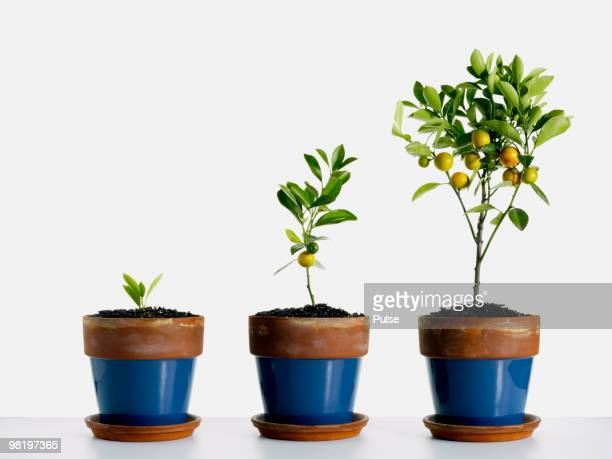 Potted orange trees.