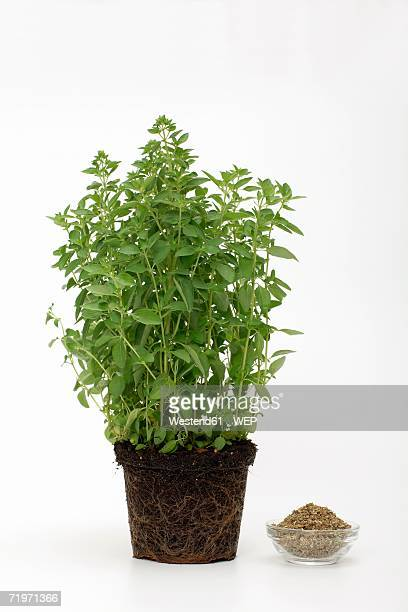 Potted oregano with bowl, close-up