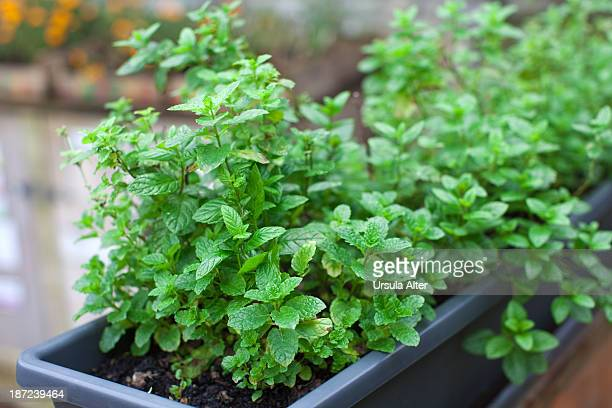 Potted peppermint