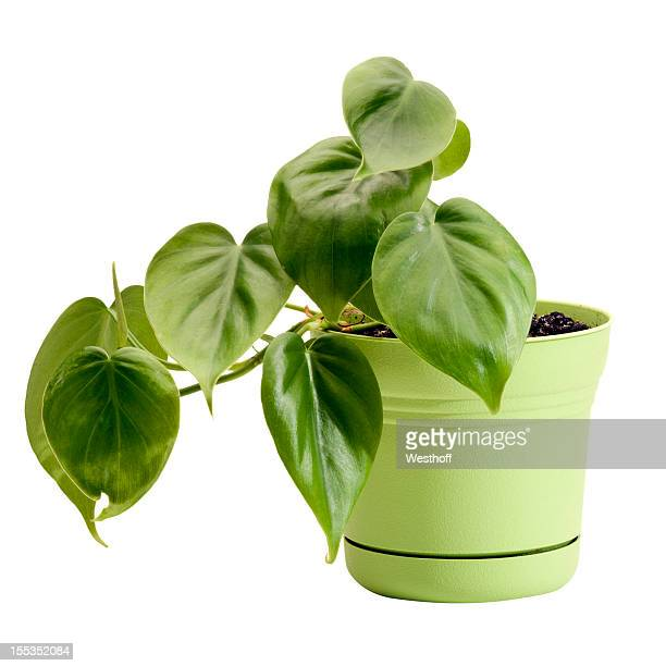 A potted philodendron in a green planter