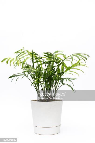 potted plant - aralia - pot plant stock pictures, royalty-free photos & images