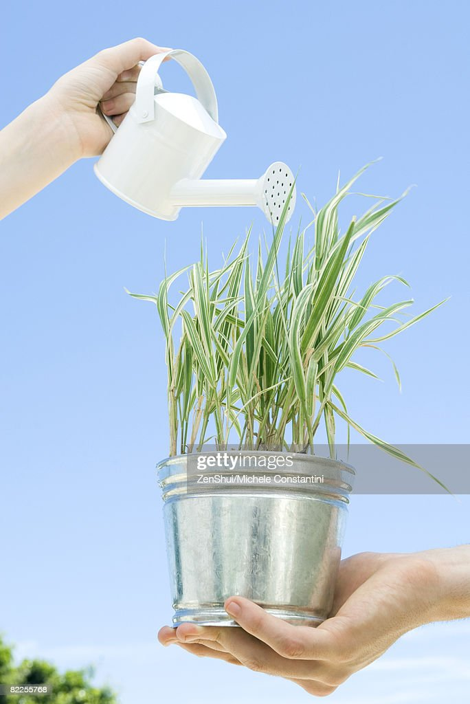 Potted plant being watered : Stock Photo