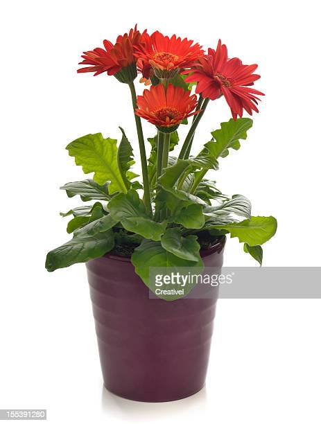 potted plant bright red gerbera daisy - gerbera daisy stock pictures, royalty-free photos & images