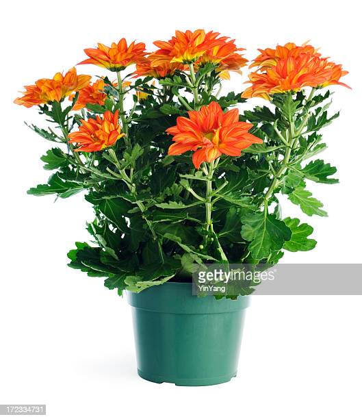 Potted Plant Chrysanthemums in Garden Store Container, Isolated on White