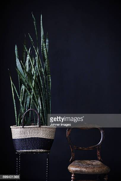 potted plant near chair - sanseveria trifasciata stock pictures, royalty-free photos & images
