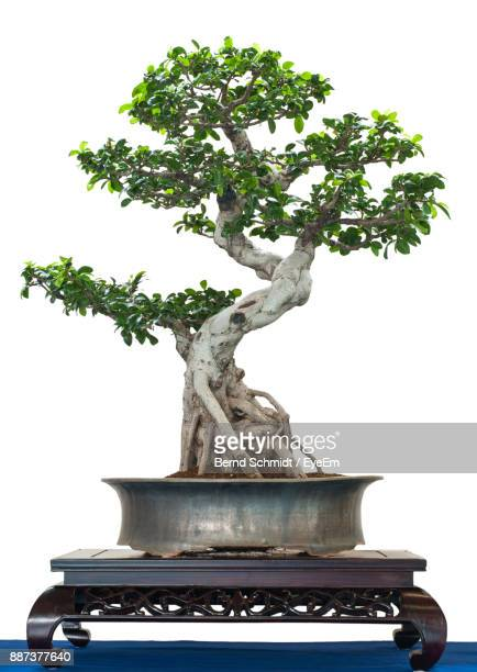 potted plant on table against white background - bonsai tree stock pictures, royalty-free photos & images