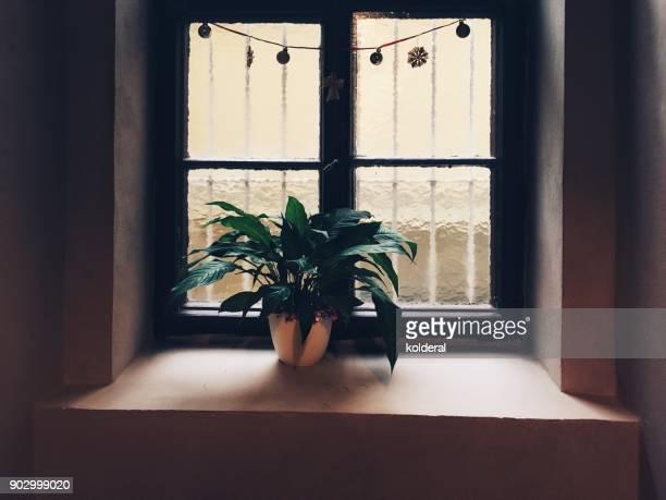 Potted plant on windowsill