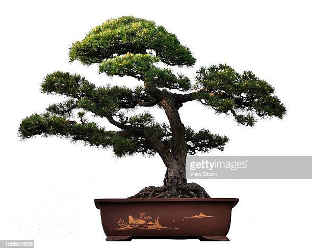potted plant - bonsai tree stock pictures, royalty-free photos & images