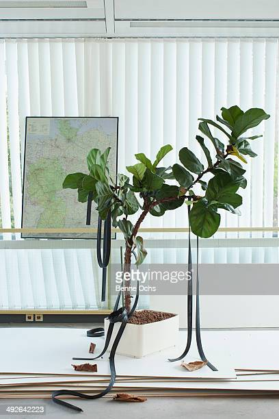 Potted plant with rubber straps hanging on it, map in background
