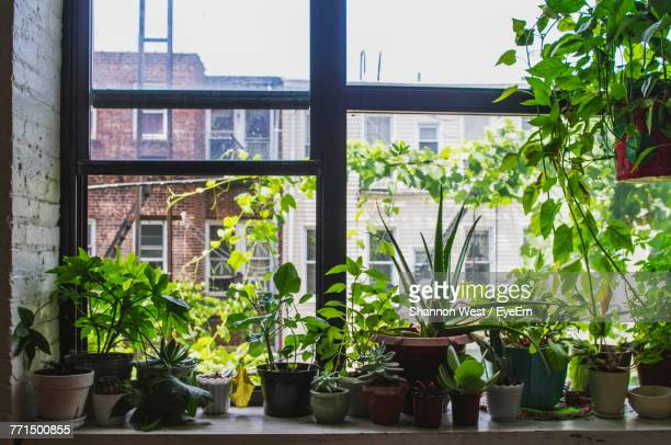 potted plants on window sill at home - flora foto e immagini stock