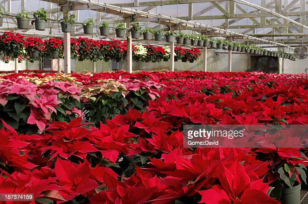Potted Red Poinsettias Plants Growing in Greenhouse
