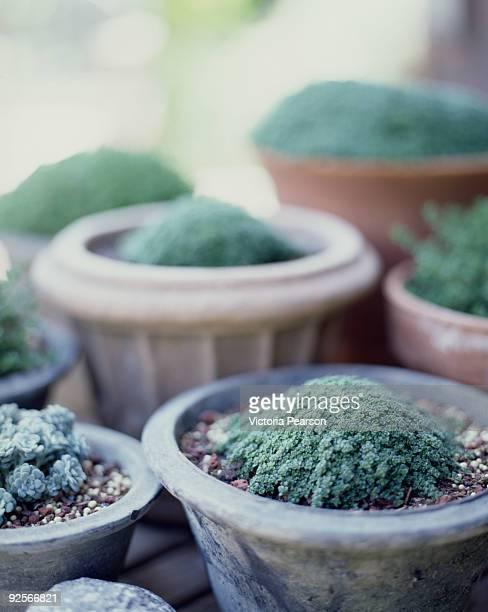 Potted rock garden plants