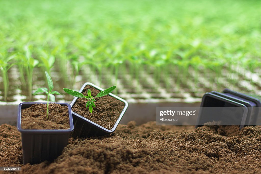 potted seedlings growing small plant growing in clay pot stock photo