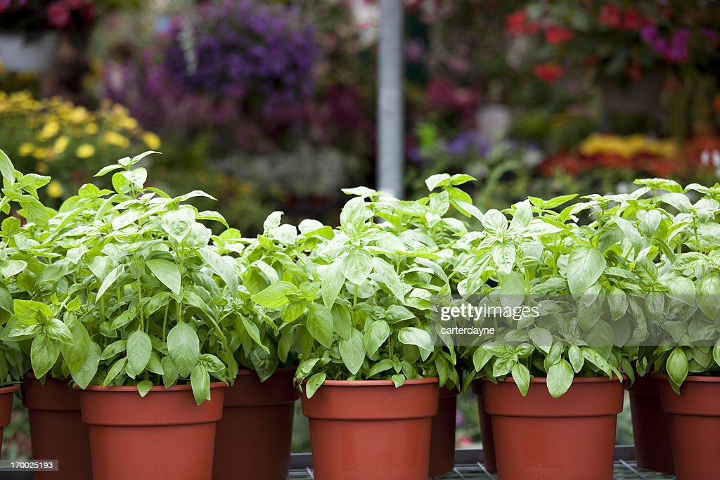 Potted spring flowers and basil in plant nursery stock photo getty potted spring flowers and basil in plant nursery stock photo mightylinksfo