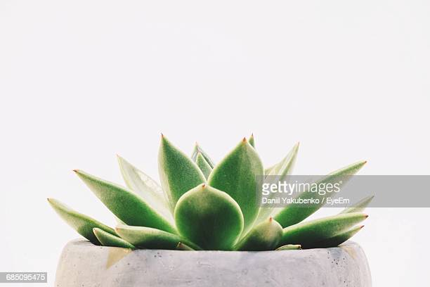 Potted Succulent Plant Against White Background