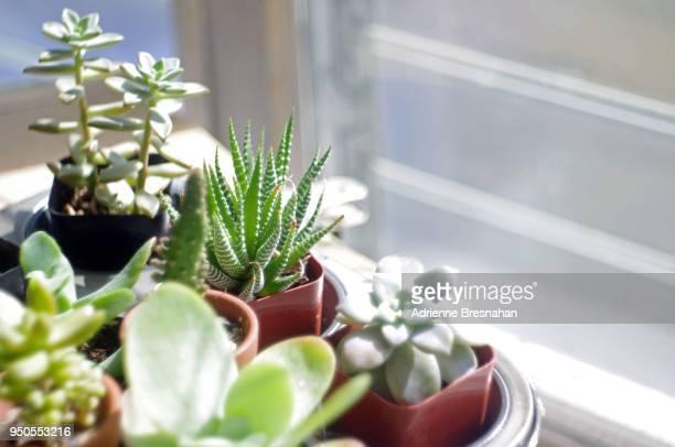 potted succulents by the window - planta carnosa fotografías e imágenes de stock