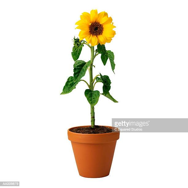 potted sunflower - 植木鉢 ストックフォトと画像