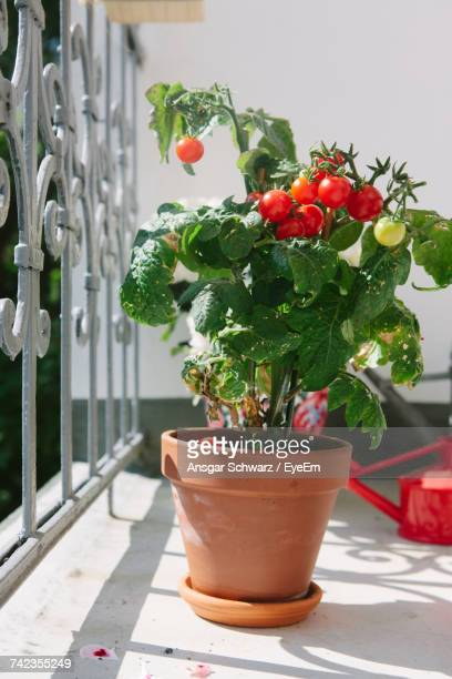 Potted Tomato Plant In Balcony