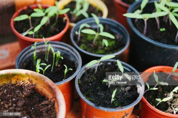potted vegetables in a cold frame - agriculture stock pictures, royalty-free photos & images