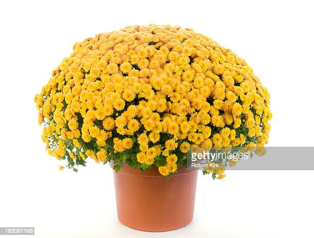 potted yellow chrysanthemum - mums - pot plant stock pictures, royalty-free photos & images