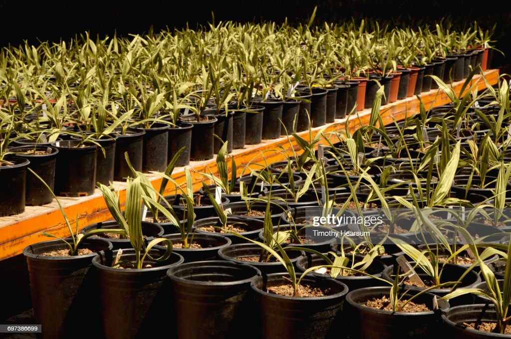 Potted young Medjool date palms on wagons : Stock Photo