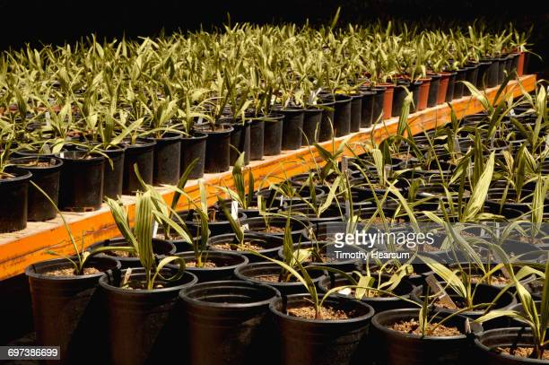 potted young medjool date palms on wagons - blythe brown stock pictures, royalty-free photos & images