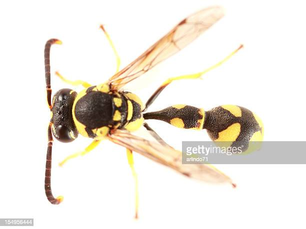 Potter wasp isolated on white