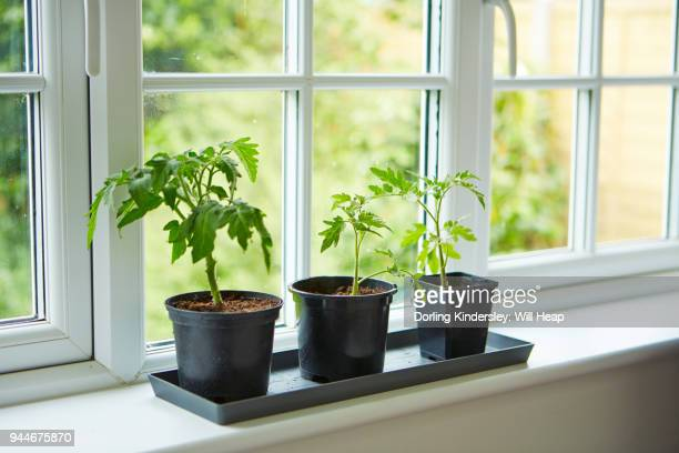 Potting on tomatoes