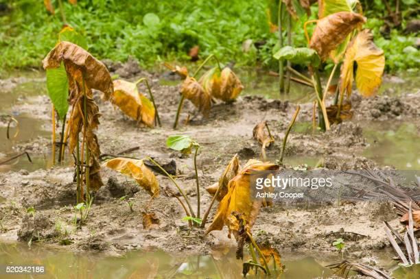 Poulaka Crops Killed by Advancing Salt Water