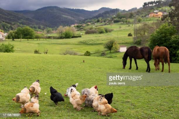 poultry and mares - animal doméstico fotografías e imágenes de stock