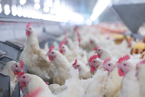 Poultry Grand Parent stock Breeding chicken Farm 1069897990