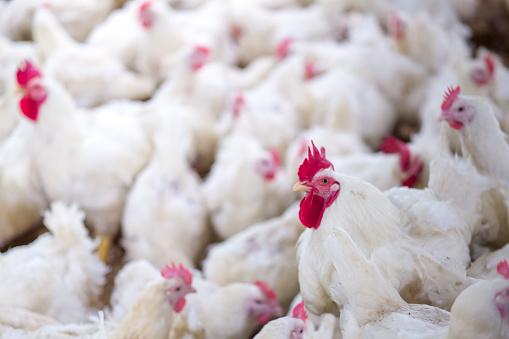 Poultry Grand Parent stock Breeding chicken Farm 1069898014