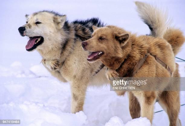 Pour limiter la fougue de ces chiens au moment de les atteler ainsi que dans les passages delicats les groenlandais glissent dans le collier une des...