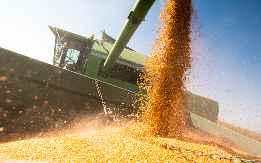 Pouring corn grain into tractor trailer after harvest at field 1129408775