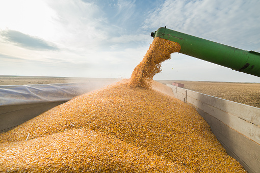 Pouring corn grain into tractor trailer 623194968