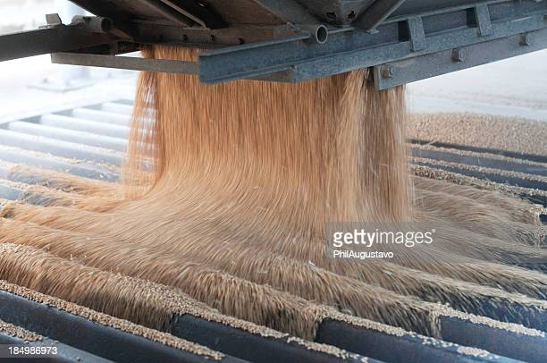 pouring harvested wheat into a metal grate - cereal plant stock pictures, royalty-free photos & images