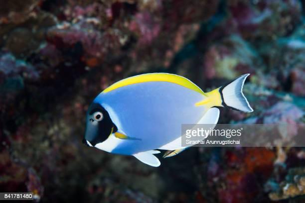 powder blue surgeonfish (acanthurus leucosternon) with a bluestreak cleaner wrasse (labroides dimidiatus) - poissons exotiques photos et images de collection