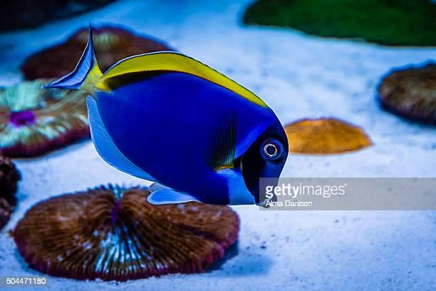 powder blue tang tropical fish - alma danison fotografías e imágenes de stock