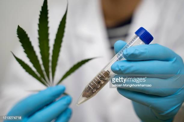 powder of cannabis (drugs), analysis of cannabis in laboratory. - カンナビスサティバ ストックフォトと画像